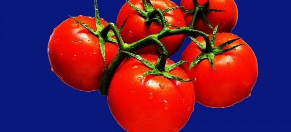 Tomaten donkerblauwe achtergrond copy